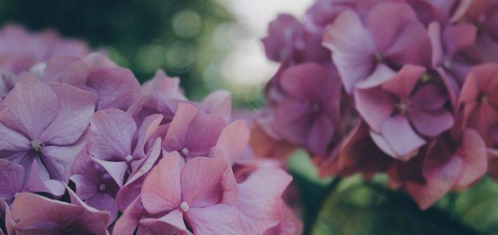hortensias preservadas