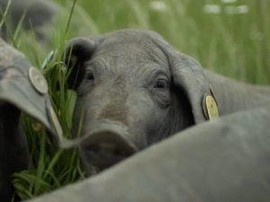 los cerdos del mejor jamón del mundo