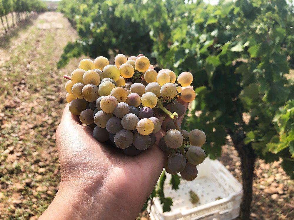 Racimo de uvas en la vendimia de Belondrade